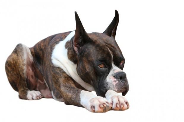 Boxer com pedigree
