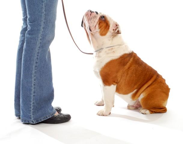 bulldog com enforcador