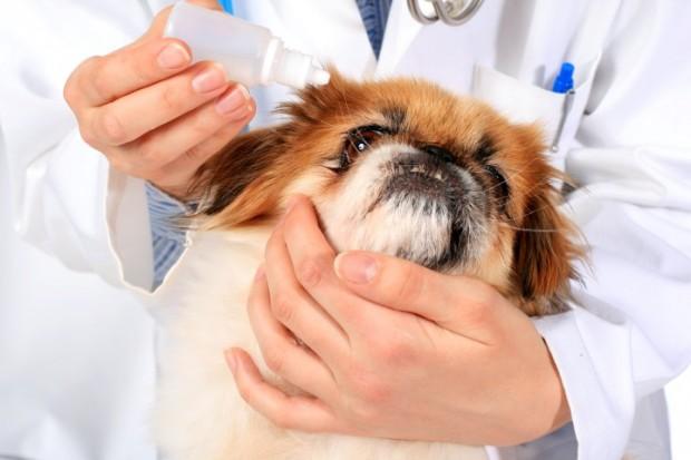 cachorro aplicando colírio