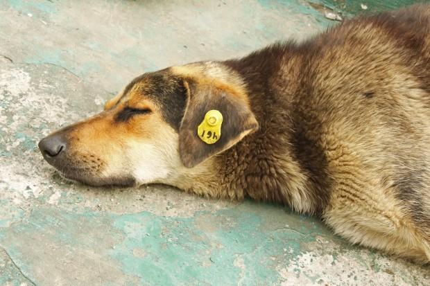 cão castrado