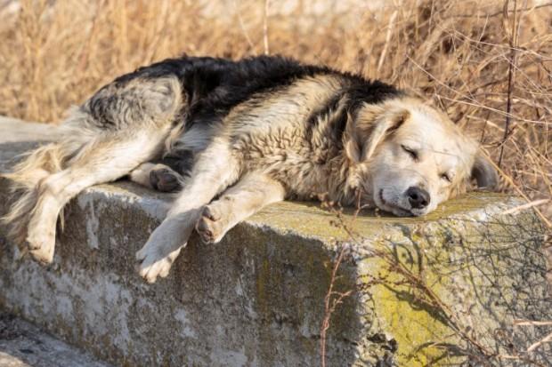 cão descansando