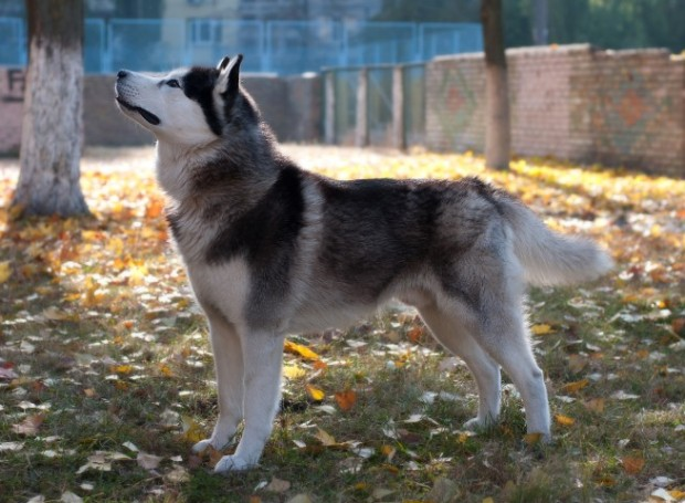 husky com pedigree