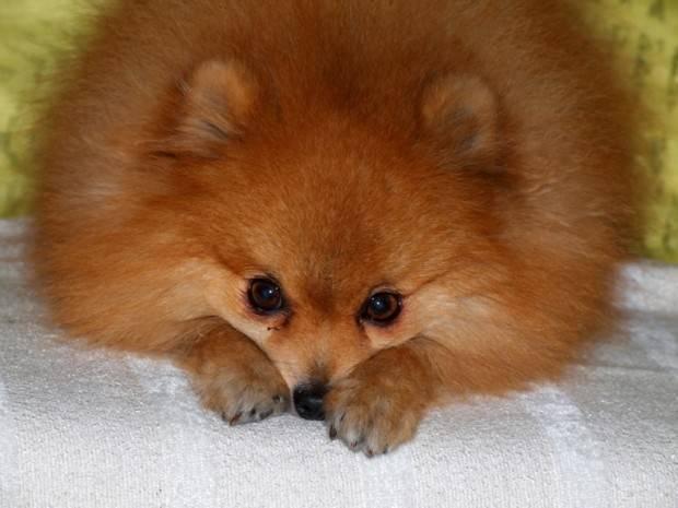 Lulu da Pomerânia | Tudo Sobre a Raça de Cachorro Lulu da Pomerânia Pug