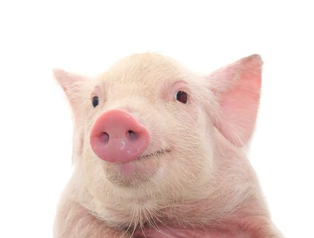 Mini Porcos De Estimação