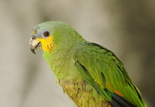 papagaio macho