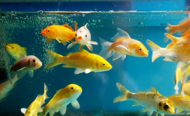 Como montar um aqu rio dicas para criar peixes for Como criar peces koi