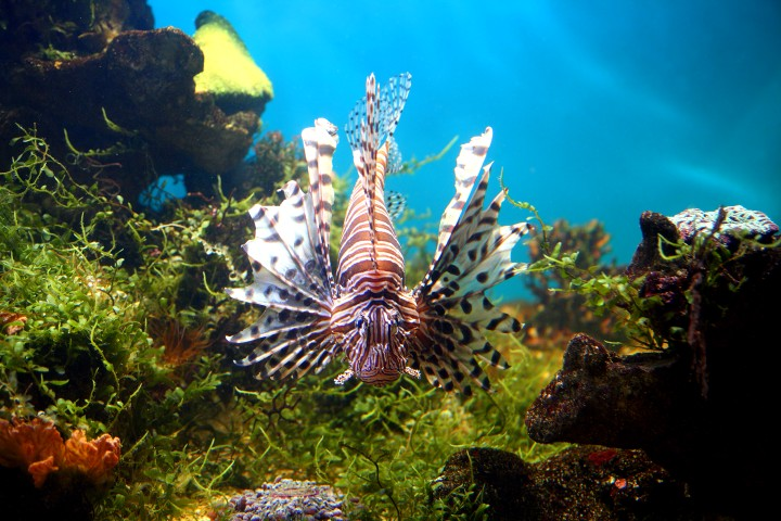 Peixes ornamentais dicas para criar peixes for Como criar peces koi