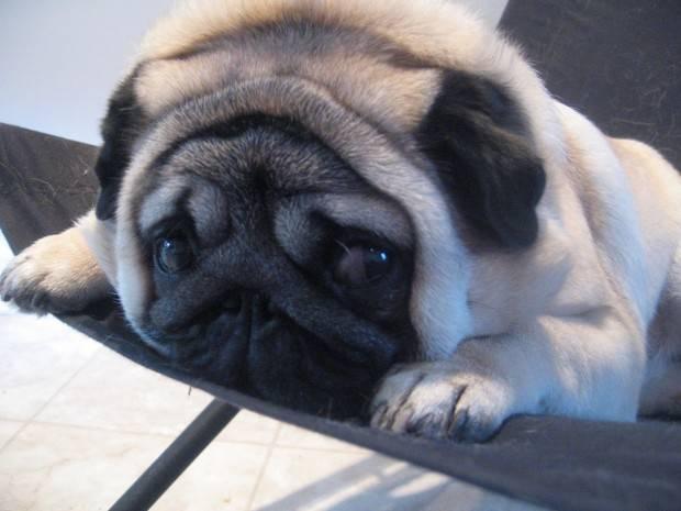 Tudo Sobre A Raça De Cachorro Pug