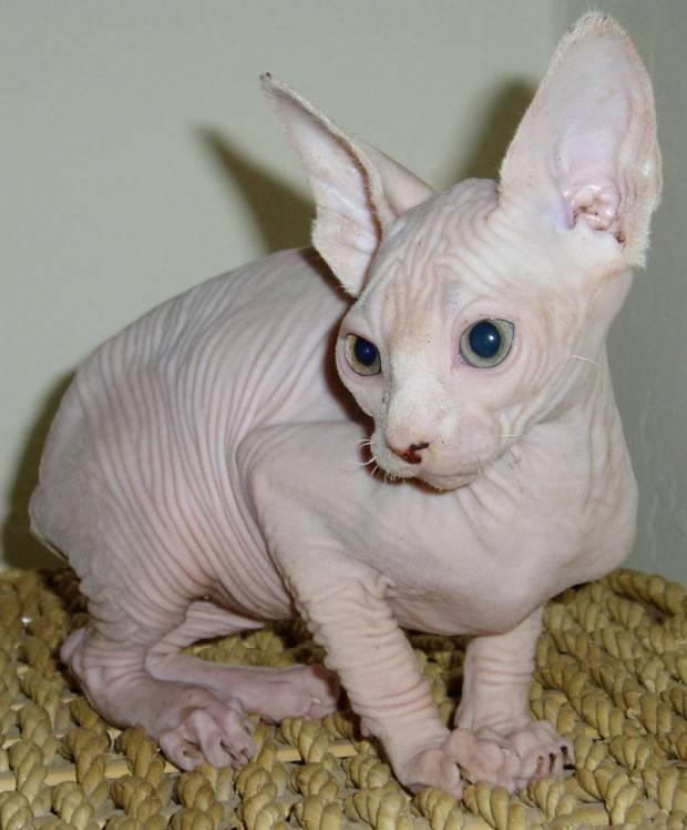 gato sphinx