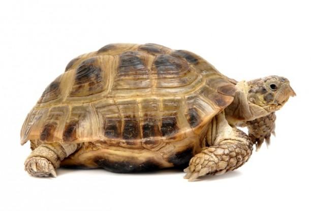 tartaruga da terra