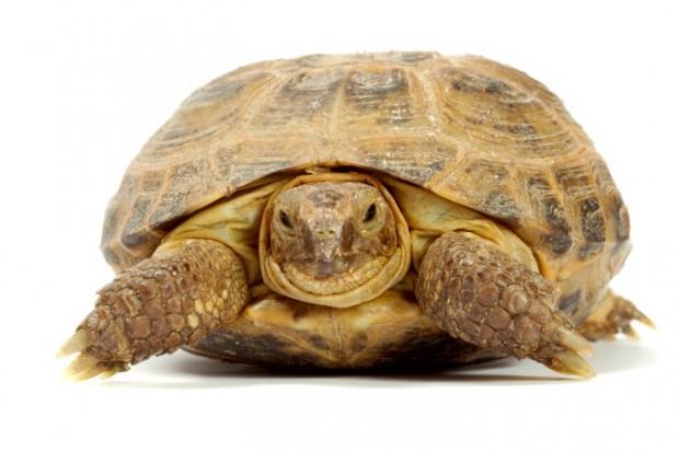 tartaruga terrestre tudo sobre a tartaruga terrestre