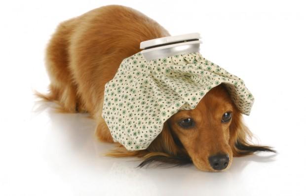 tosse canina